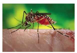 Adult female Aedes aegypti, the yellow-fever mosquito.