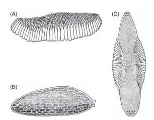 Eggs of mosquitoes. (A) Egg raft of Culex mosquito. (B) Single egg of Aedes mosquito. (C) Single egg of anopheline mosquito.