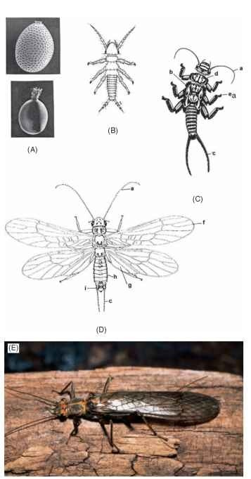 Life stages of stoneflies. (A) Eggs. (B) Hatchling (first instar). (C) Late instar. (D) Adult male. a, antennae; b, gills; c, cerci; d, prothorax; e, tarsal claws; f, forewing; g, hind wing anal area; h, abdomen; i, epiproct of male genitalia; (E) Adult of the stonefly Calineuria californica (Banks).