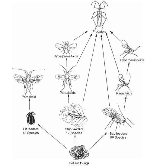 Schematic of arthropod food web in collards.