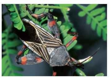 Mesquite bug (adult), Thasus neocalifornicus.