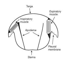 Respiratory muscles that drive the dorso-ventral movements of the abdomen during abdominal pumping in a grasshopper.