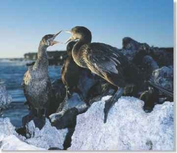 A Noisy neighbors The flightless cormorant associates in small colonies of up to 12 breeding pairs and their offspring.