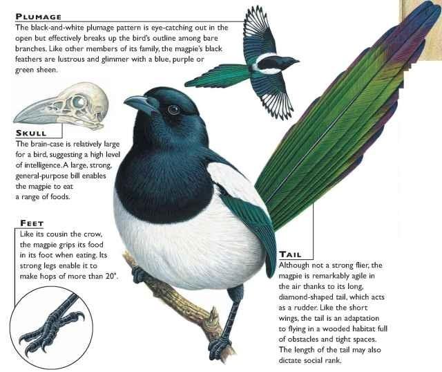 Black Billed Magpie Birds