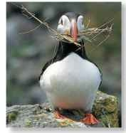 A Living on the edge Puffins have fallen off cliffs when fighting.
