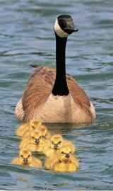 A gosling nibbles plants and eats insects until it is strong enough to graze properly.