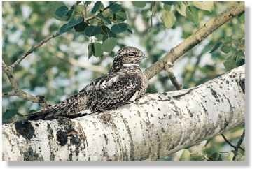 The nighthawk is a country bird A Out on a limb that has prospered in town. It The nighthawk's patterned favors open spaces; common plumage conceals it by day.