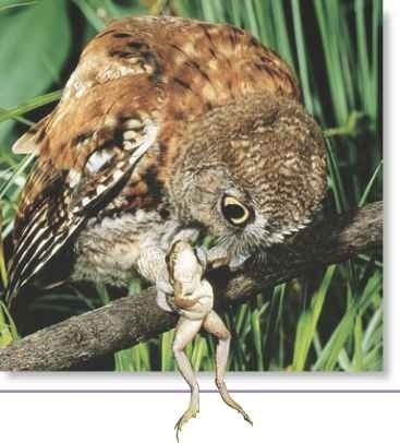 A frog's fate Ail eastern screech owl snatches an unsuspecting frog with its sharp talons and prepares to take the first bite.