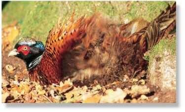 A Bath time The pheasant regularly takes dust baths to remove oil from its feathers.