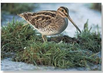 The common snipe is primarily A Soggy ground a bird of waterlogged ground Marshland is a typical as it needs soil soft enough to habitat of the snipe.