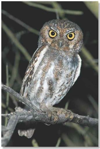 Elf Owl (Birds)