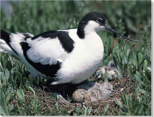 "eurasian Avocet"" Stock Photos, Royalty-Free Images & Vectors ..."