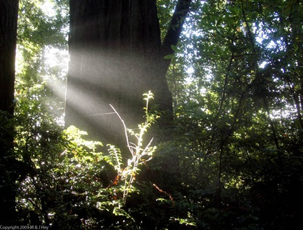 Beams of sunlight Redwood National Park