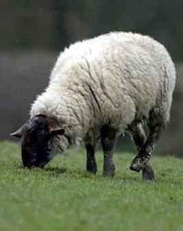 sheepPA220906_228x290