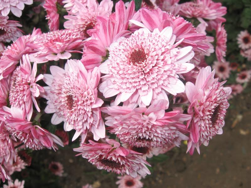 Chrysanthemum Exhibition