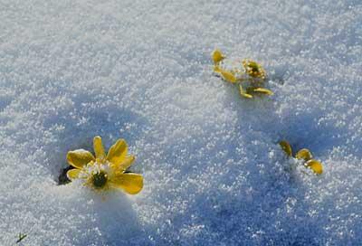 ranuculai-snow-alpine-flowe.jpg