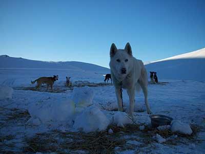 sled-dog-1.jpg