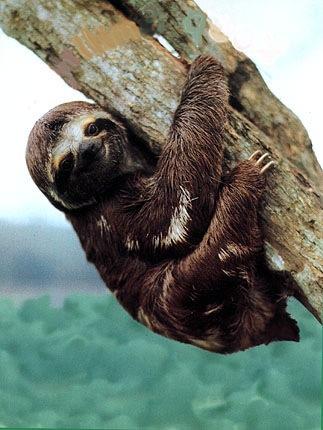 slothbab