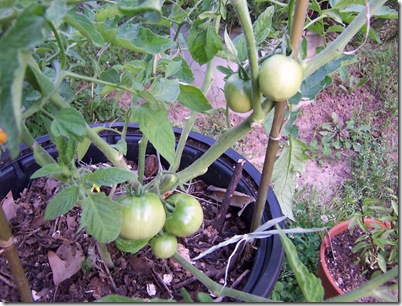 mystery tomatoes 002
