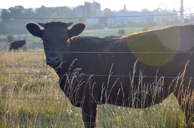 cow 022