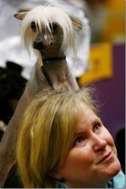 Belos e estranhos penteados caninos (8)