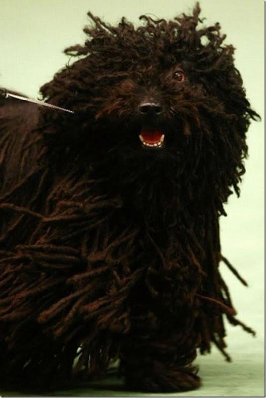 Belos e estranhos penteados caninos (4)