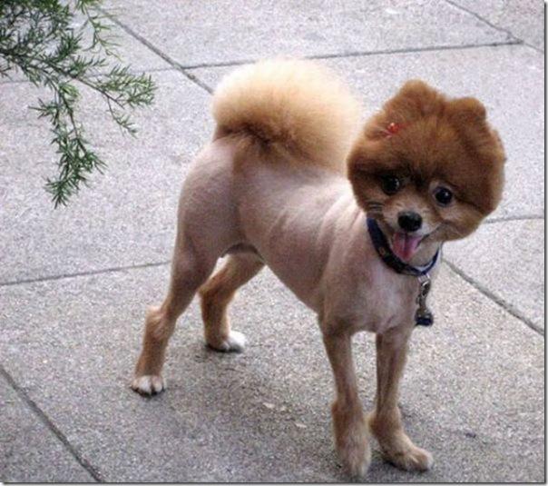 Belos e estranhos penteados caninos