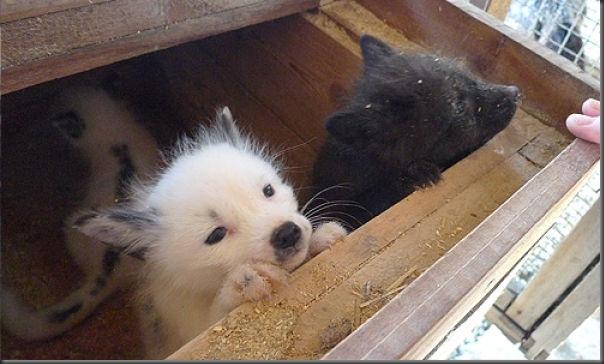 Filhotes de raposa (3)