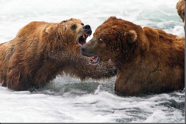 A pesca dos ursos em um rio no Alasca (11)