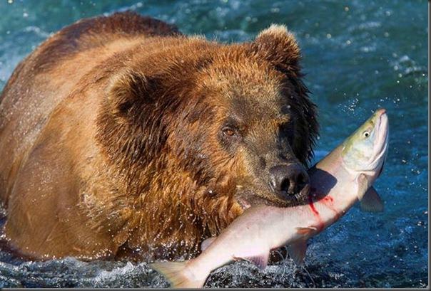 A pesca dos ursos em um rio no Alasca (3)