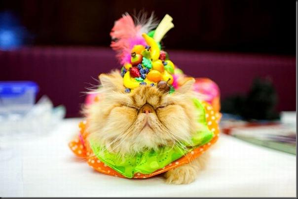Desfile de moda de gatos (6)