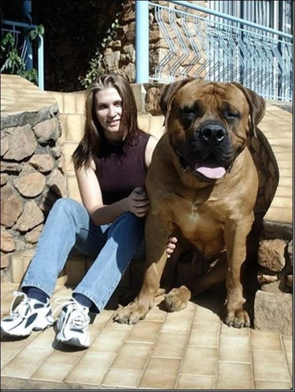 Cachorros gigantes (11)