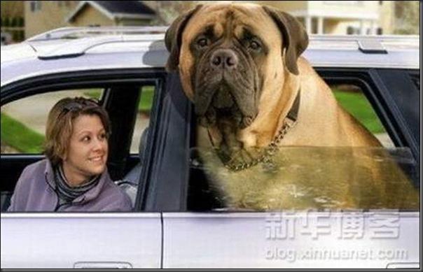 Cachorros gigantes (8)