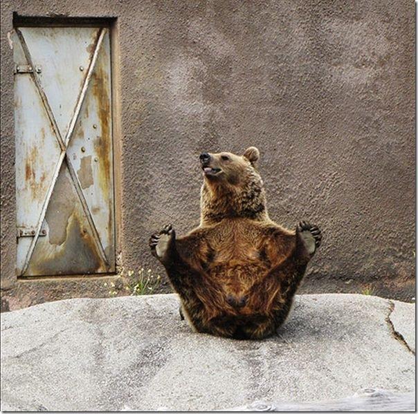 Urso praticando Yoga (1)