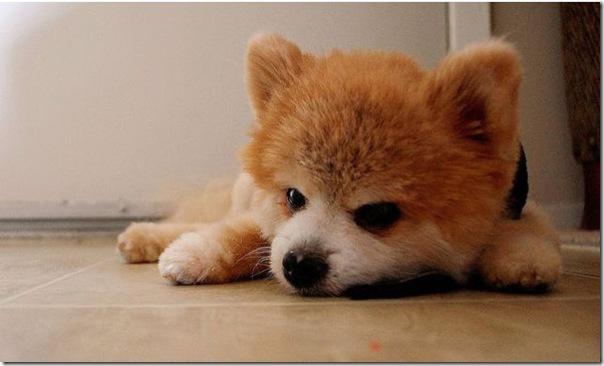 Cachorrinho mais fofo do mundo (12)
