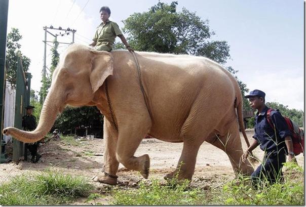 Elefante branco (2)