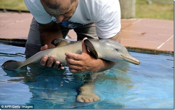 Um pinguim fica amigo de um golfinho bebê (3)
