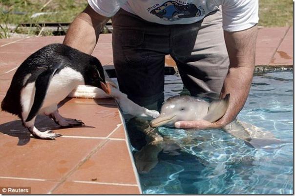 Um pinguim fica amigo de um golfinho bebê
