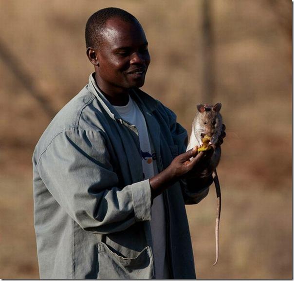 Ratos são treinados para detectar minas terrestres (8)