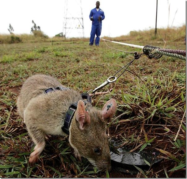 MOZAMBIQUE-RATS-SNIFFS-MINES