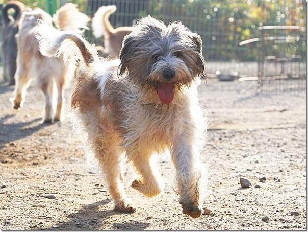 cães extintos na coreia recuperação (2)