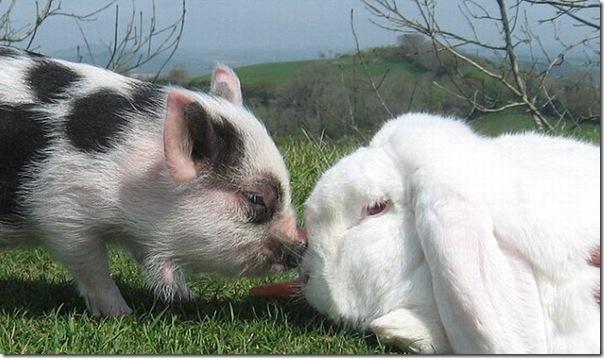 Micro porco e um coelho
