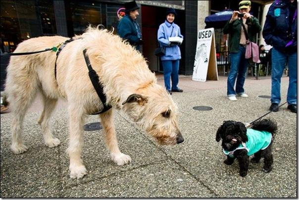 Cães gigantes (5)