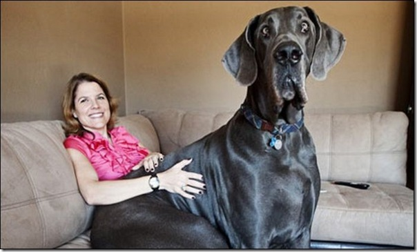 Cães gigantes (9)
