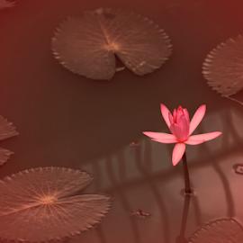 by Jenkinson Balinggan - Nature Up Close Other plants ( pink flower, water, lotus, pink, lotus flower, flower )