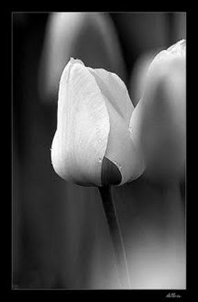 Tulipa Branca (Fundo Preto)
