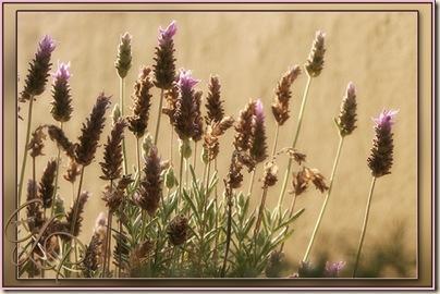 lavender-fr