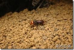 台灣大虎頭蜂-蔣沛志提供