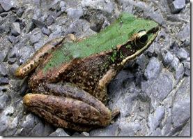 斯文豪氏赤蛙-方