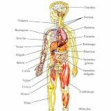 cuerpo_humano_1-540x832.jpg